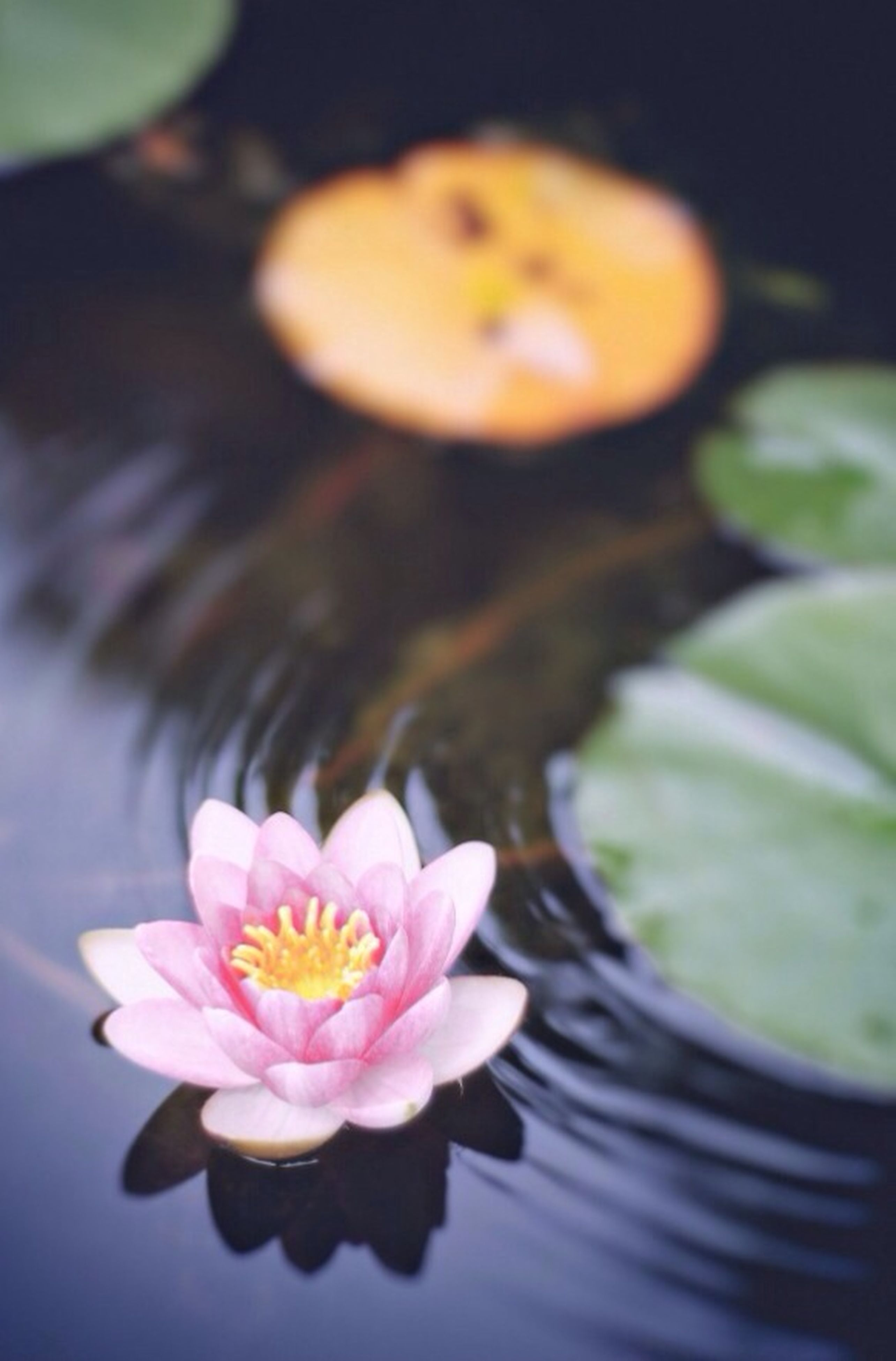 flower, petal, freshness, flower head, fragility, close-up, beauty in nature, single flower, water lily, growth, nature, high angle view, blooming, indoors, pond, pink color, water, selective focus, focus on foreground, pollen