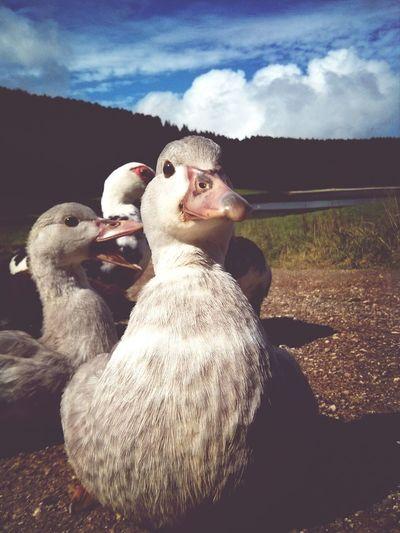 Duckface Azzzores