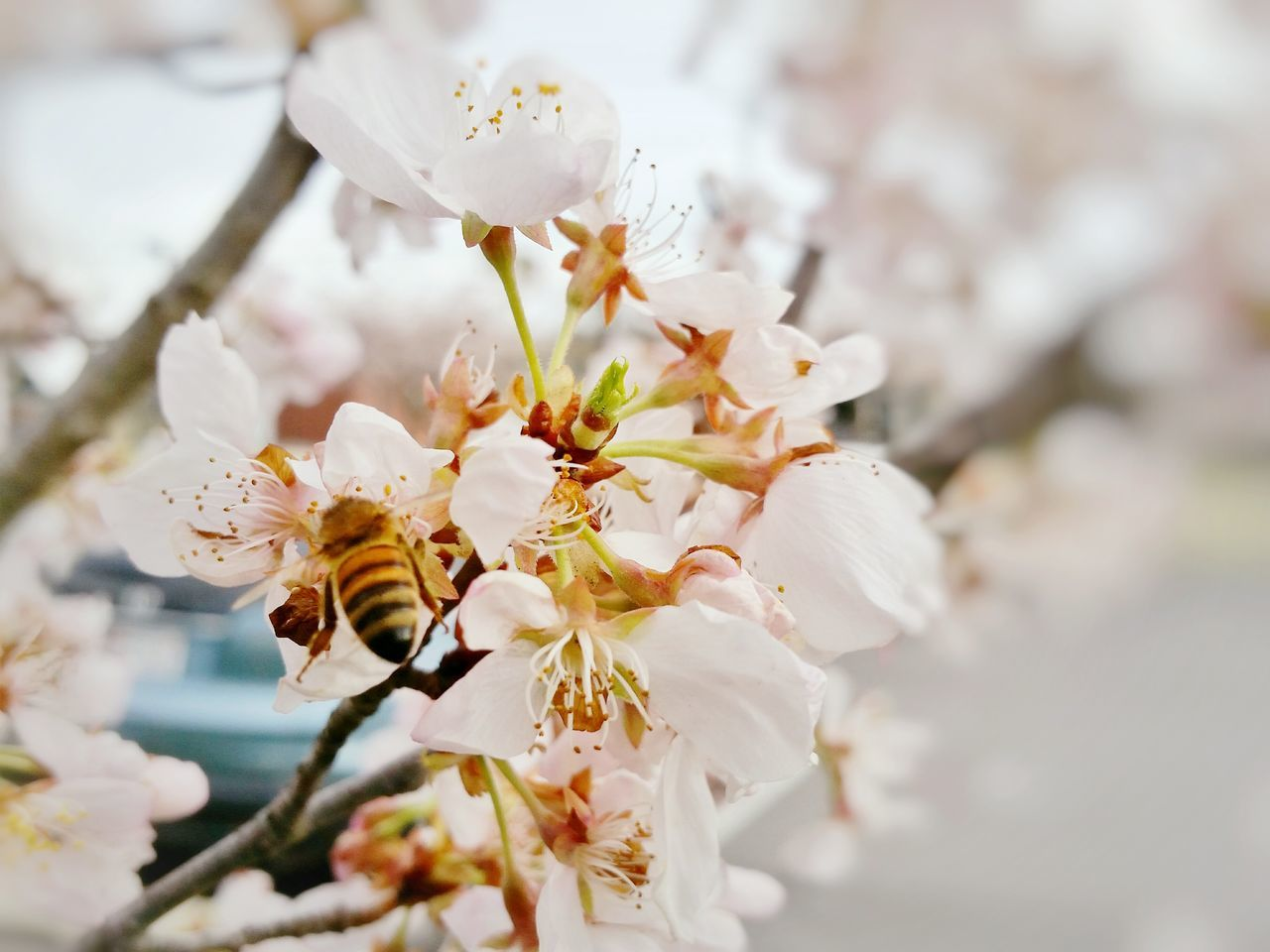 branch blossom Nature twig Growth springtime flower close-up beauty in Nature Tree Plant flower head fragility no people beauty outdoors day blossoms bee honey bee soft focus Soft light Sakura The EyeEm Collection