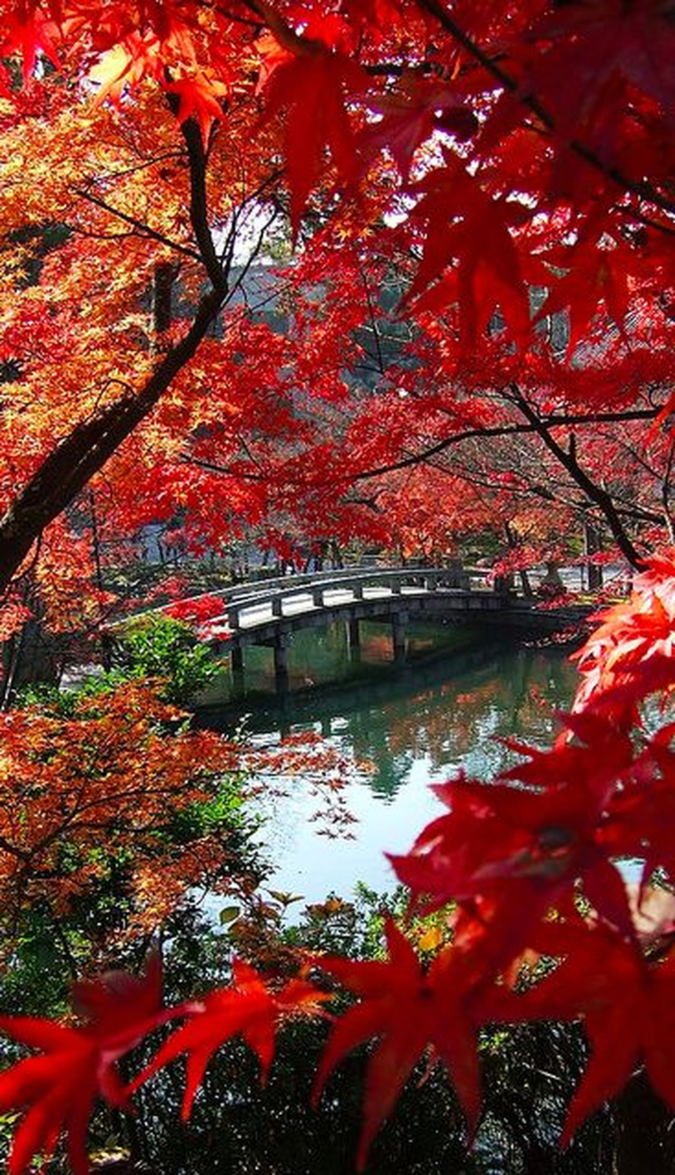 autumn, tree, change, red, season, branch, beauty in nature, water, nature, growth, leaf, tranquility, orange color, tranquil scene, scenics, day, reflection, maple tree, outdoors, no people