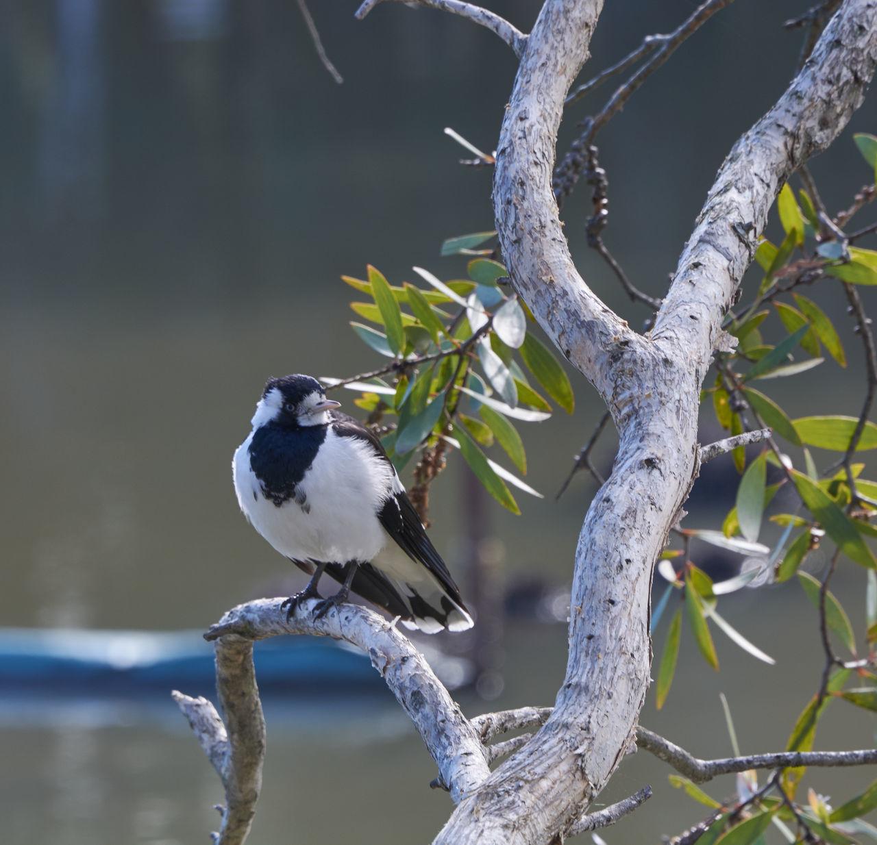 Magpie Lark is on watch #birds #blackandwhite #magpielark #magpielarkbird Beauty In Nature Bird Branch Day Nature No People Outdoors Tranquility Tree Wildlife