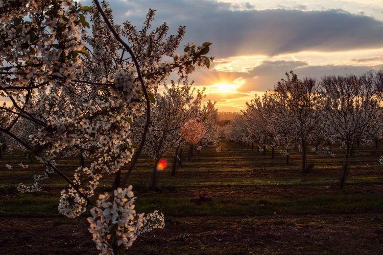 Last blossom of the season in my hometown Tree Tranquility bBeauty In NaturenNaturefFlowersSunset nNo PeoplesScenicsgGrowthsSunbBranchtTranquil ScenebBlossomsSkyoOutdoorssSunlightfFragilitydDayfFreshness