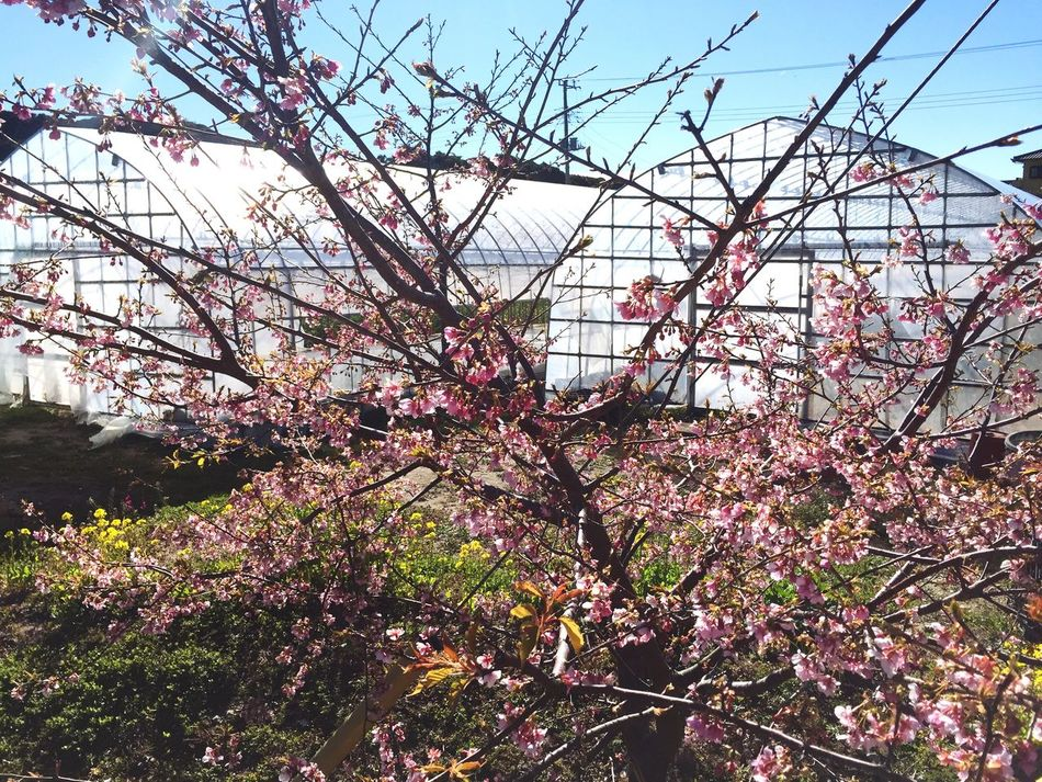 Farming scene Growth Tree Flower Blossom Low Angle View Plant Sky Nature Greenhouse Day No People Built Structure Springtime Branch Fragility Outdoors Beauty In Nature Architecture