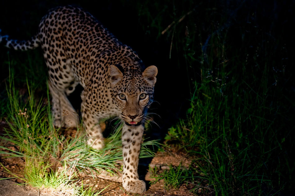 Beautiful stock photos of leopard, , Animal, Dark, Environment