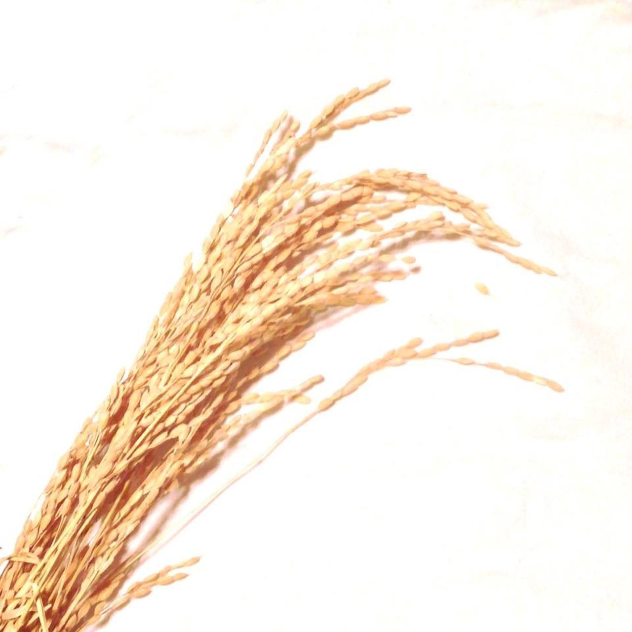 Rice Harvest 新嘗祭 Nov.23 Niinamesai is Japanese Traditional Harvest Festival held by the Emperor . The Emperor makes the Seoaon 's first Offering of Freshly harvested rice to the gods. White Brown EyeEmBestPics EyeEm Gallery Nature Plants Art Gratitude