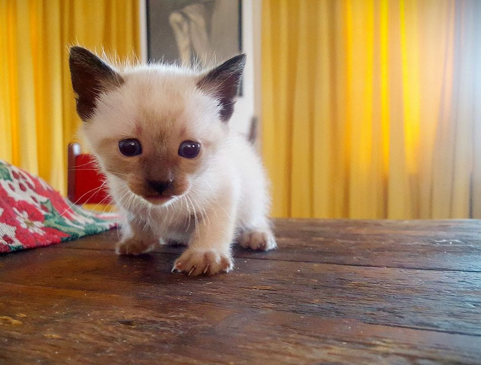 Domestic Animals One Animal Animal Themes Looking At Camera Cute No People Day Relaxing Small Kitty Cat Siamese Animal
