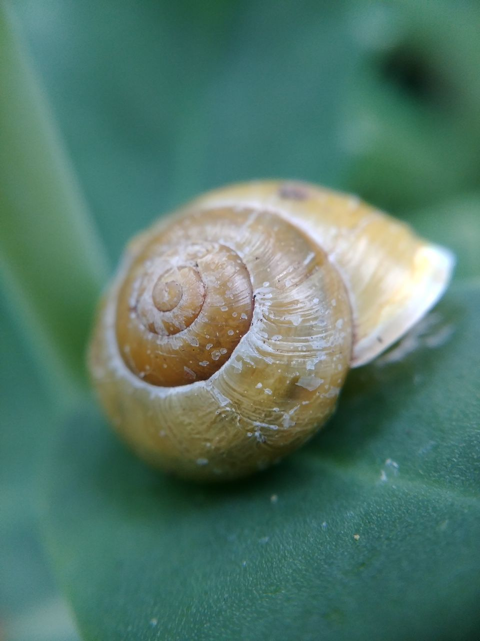 snail, gastropod, close-up, nature, animal themes, spiral, no people, one animal, fragility, animals in the wild, day, beauty in nature, outdoors