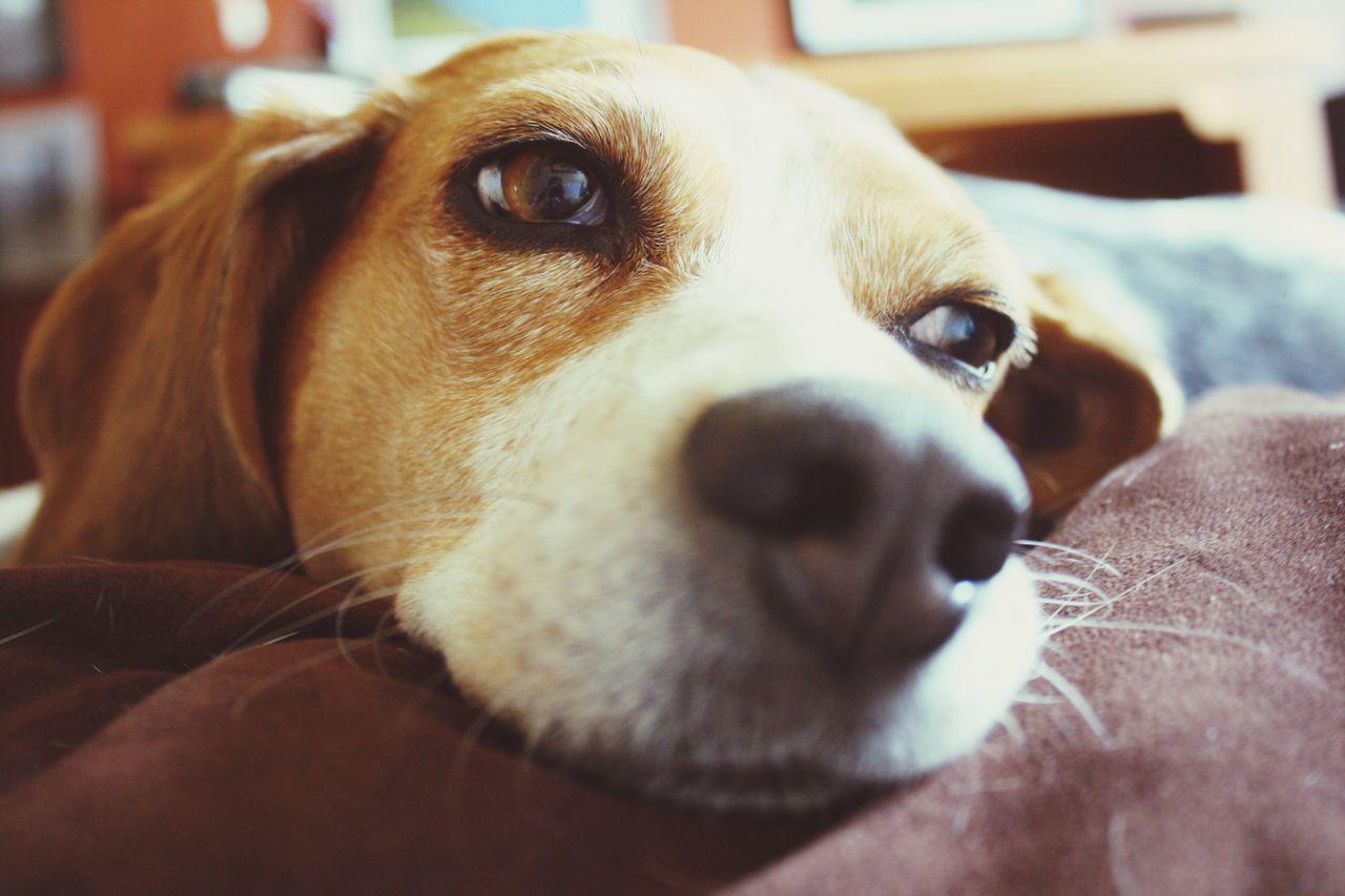 Beautiful stock photos of beagle, Animal Head, Animal Nose, Animal Themes, Close-Up