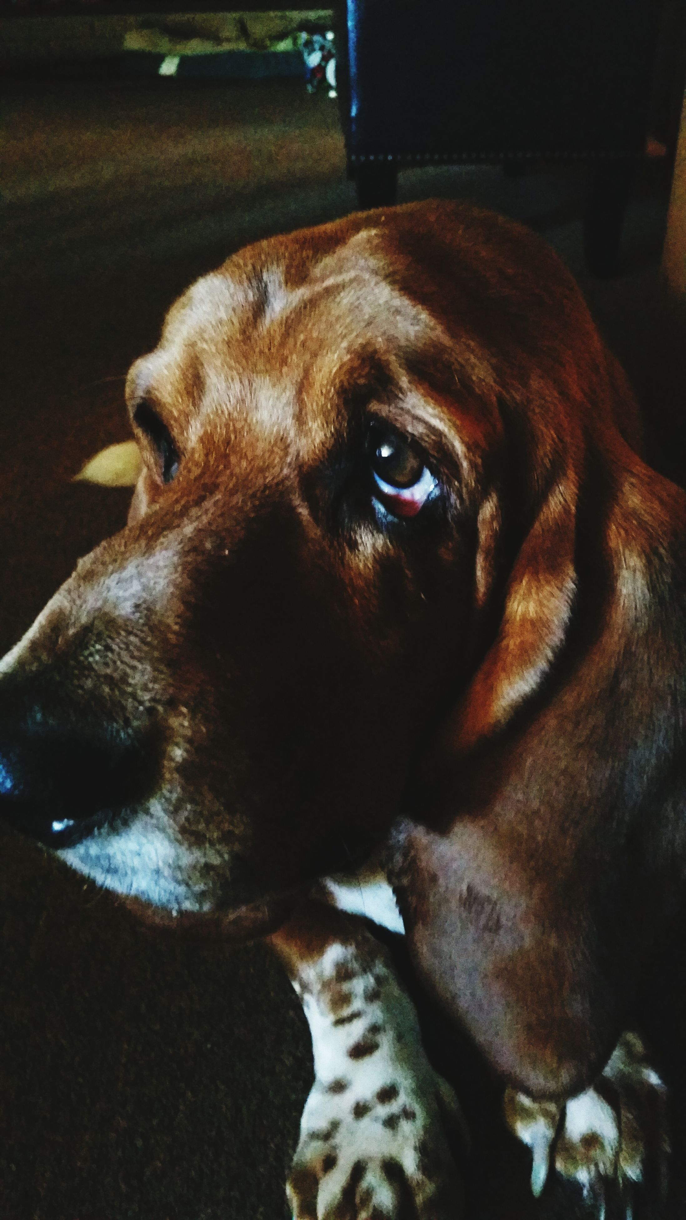 pets, dog, domestic animals, animal themes, one animal, mammal, indoors, animal head, relaxation, close-up, portrait, looking at camera, brown, lying down, home interior, pet collar, resting, no people, loyalty