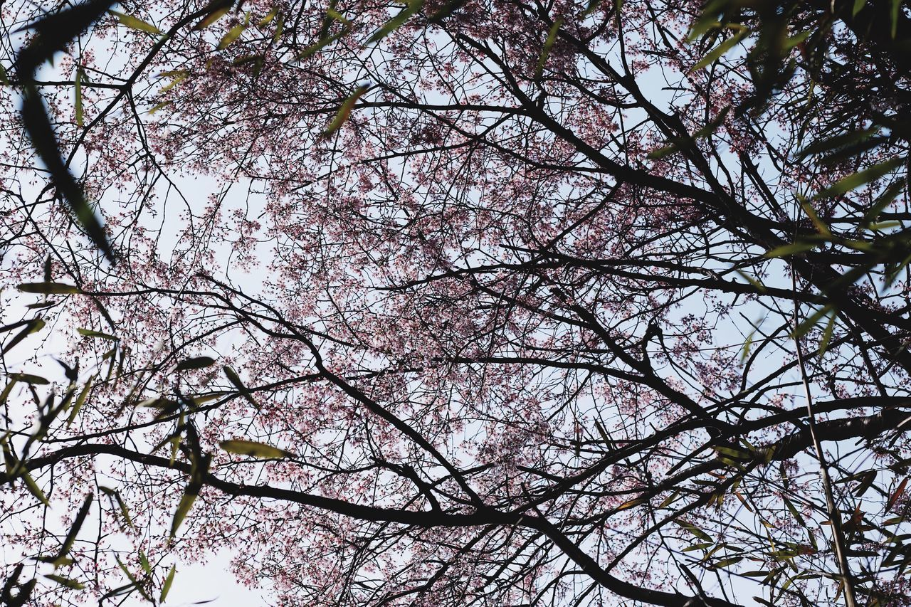Sakura Sakura Blossom Tree Low Angle View Branch Nature Growth Flower Beauty In Nature Blossom No People Pink Color Outdoors Day Sky Freshness EyeEmNewHere EyeEm Gallery From My Point Of View Wildlife & Nature Pink Flower Springtime Spring Beauty In Nature Pink