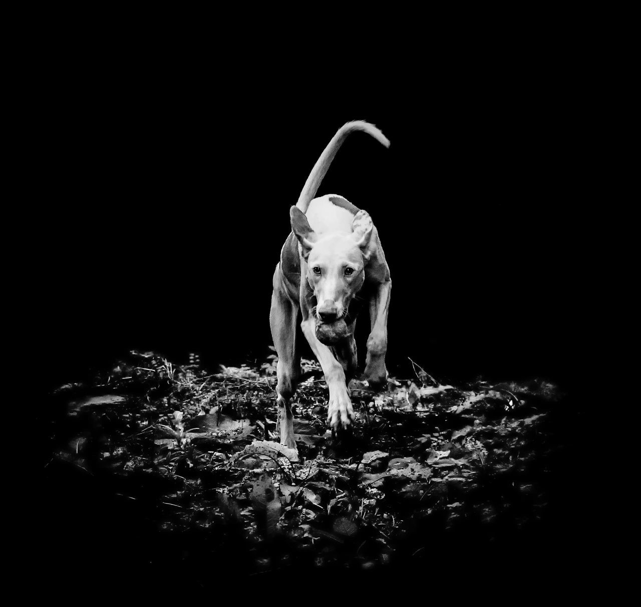 Animal Themes Black Background Dog Dog Love Ibizan Hound Mammal No People One Animal Pet Podenco Ibicenco
