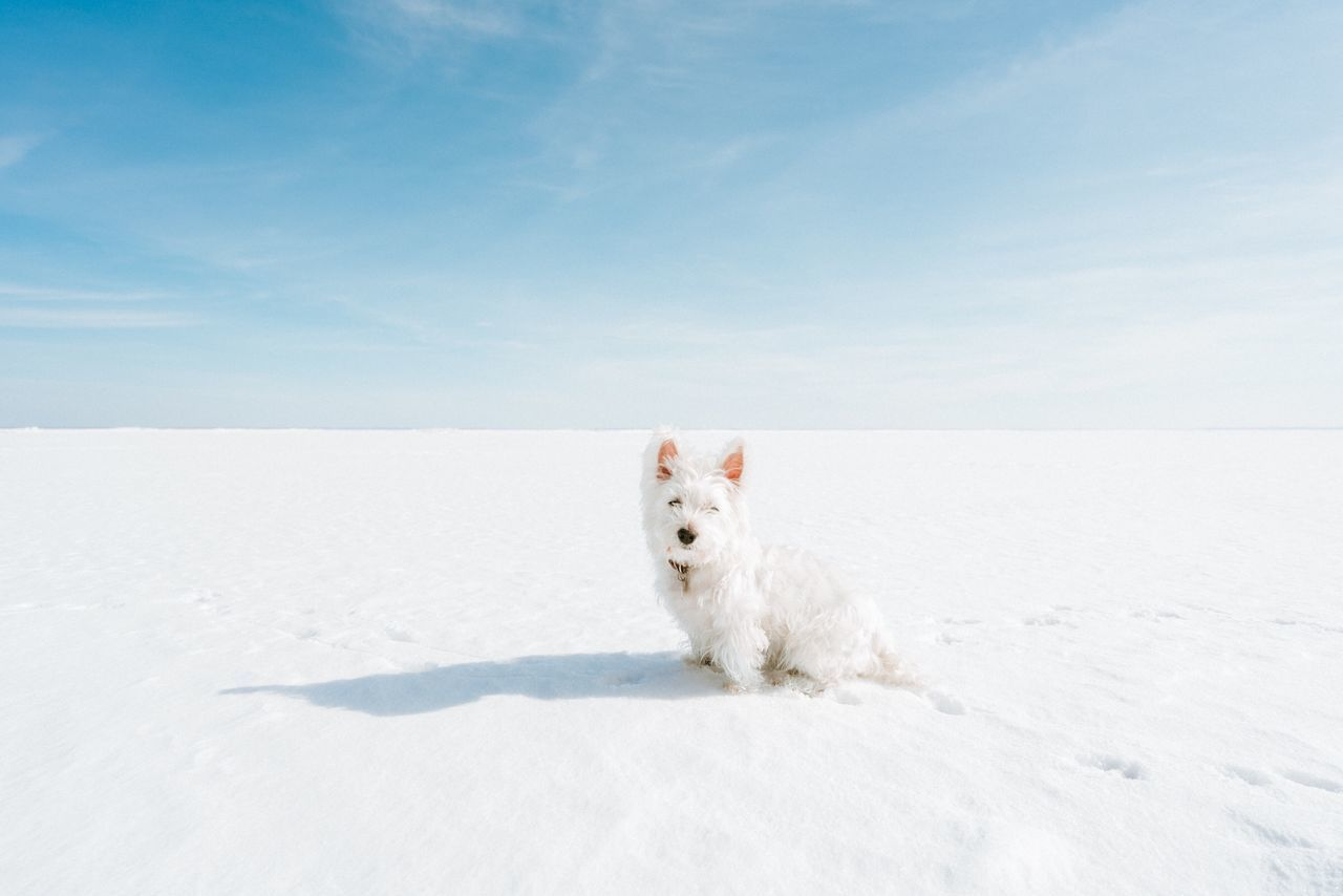 White westie dog on frozen lake white color one animal domestic animals sky Looking At Camera pets Winter Nature west highland white terrier cold temperature snow outdoors dog lake Frozen westie minimalism simple Bright EyeEmNewHere