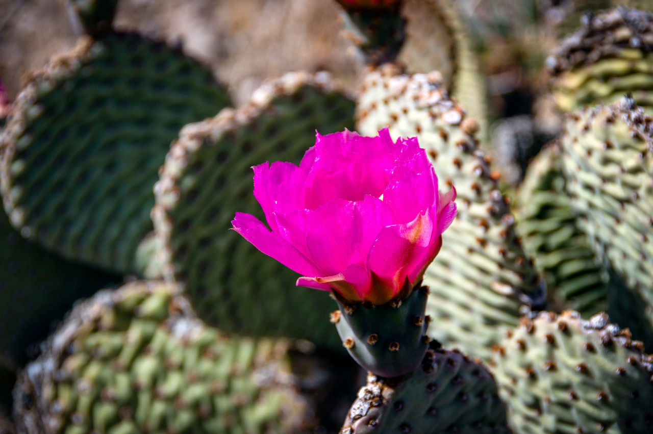 Beauty In Nature Blooming Cactus Close-up Day Flower Flower Head Fragility Freshness Growth Leaf Nature No People Outdoors Petal Pink Color Plant Water