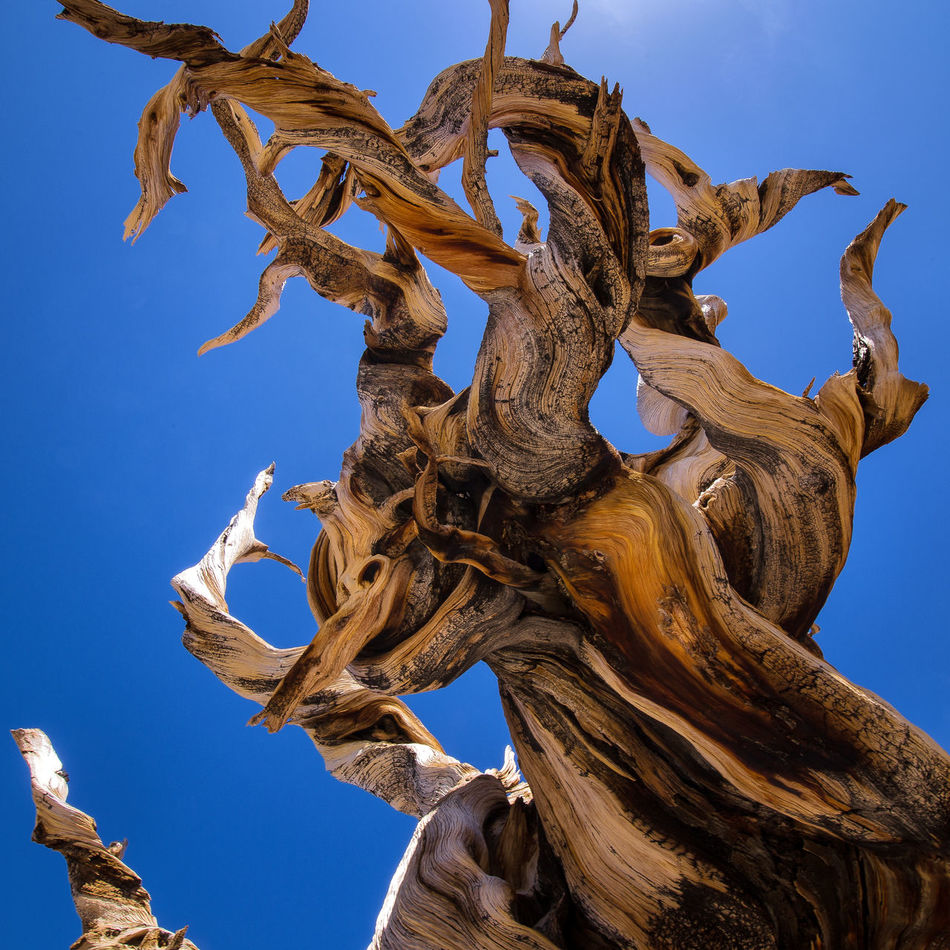 Contorted Bristlecone Tree Limb Ancient Ancitent Bark Beauty In Nature Blue Branch Bristlecone Pine California Contorted Contours Dead Tree Highway 395 Inyo National Forest Nature Outdoors Sky Tree Twist Wood