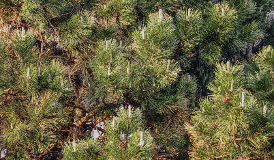 blooming pine tree close-up Affinity Photo Beauty In Nature Blooming Pine Tree Blooming Tree Branches Branches Of Trees Close-up Day Full Frame Green Color Growth Nature Needle - Plant Part No People Outdoors Pine Needles Pine Tree Tonemapping