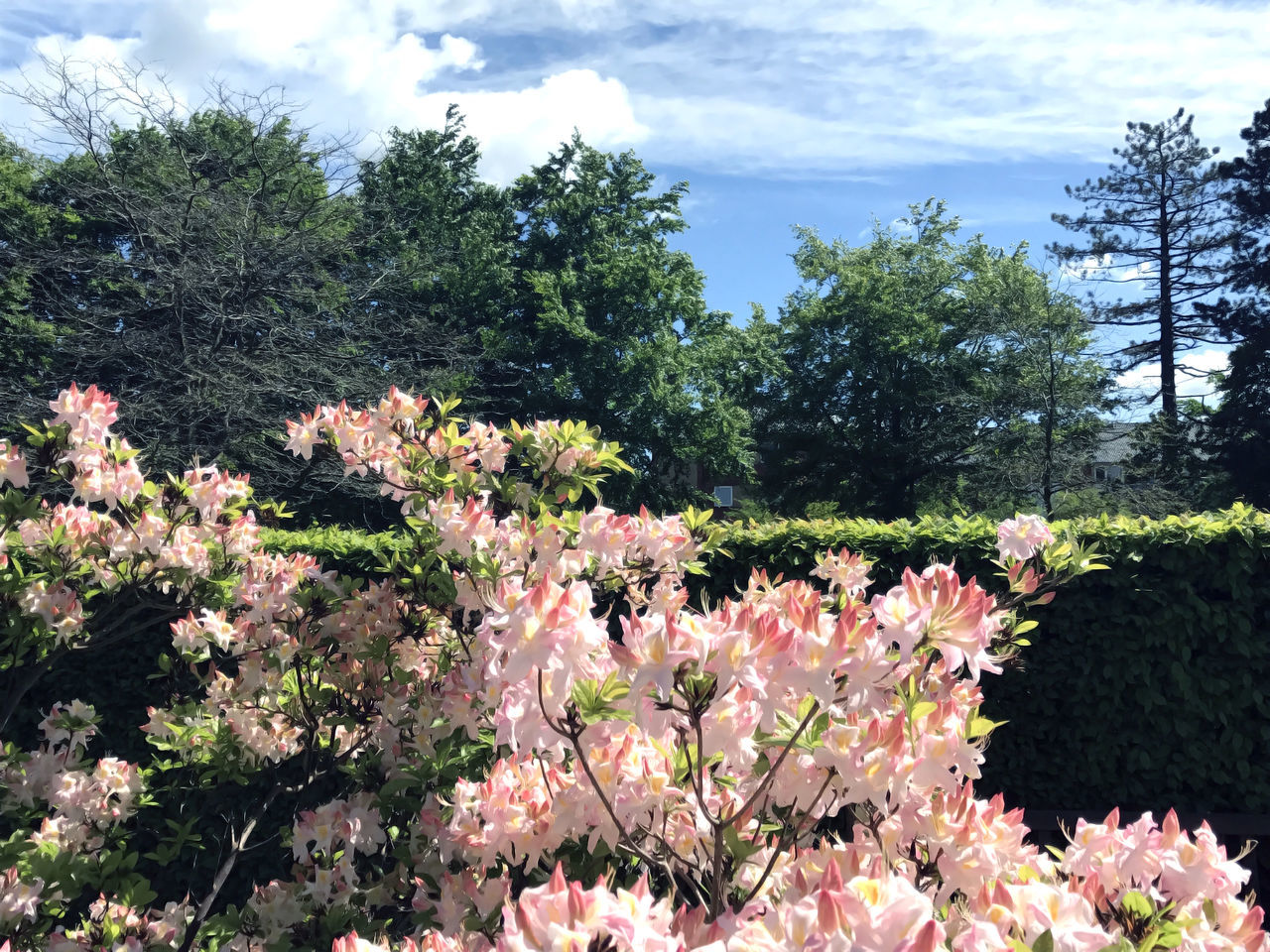 Rhododendron in the city park under spring Beauty Beauty In Nature Beauty In Nature Blue City Colorful Day Flower Flowers Fragility Grass Green Growth Nature Nature No People Outdoors Park Plant Plant Rhododendron Skies Sky Tree Trees