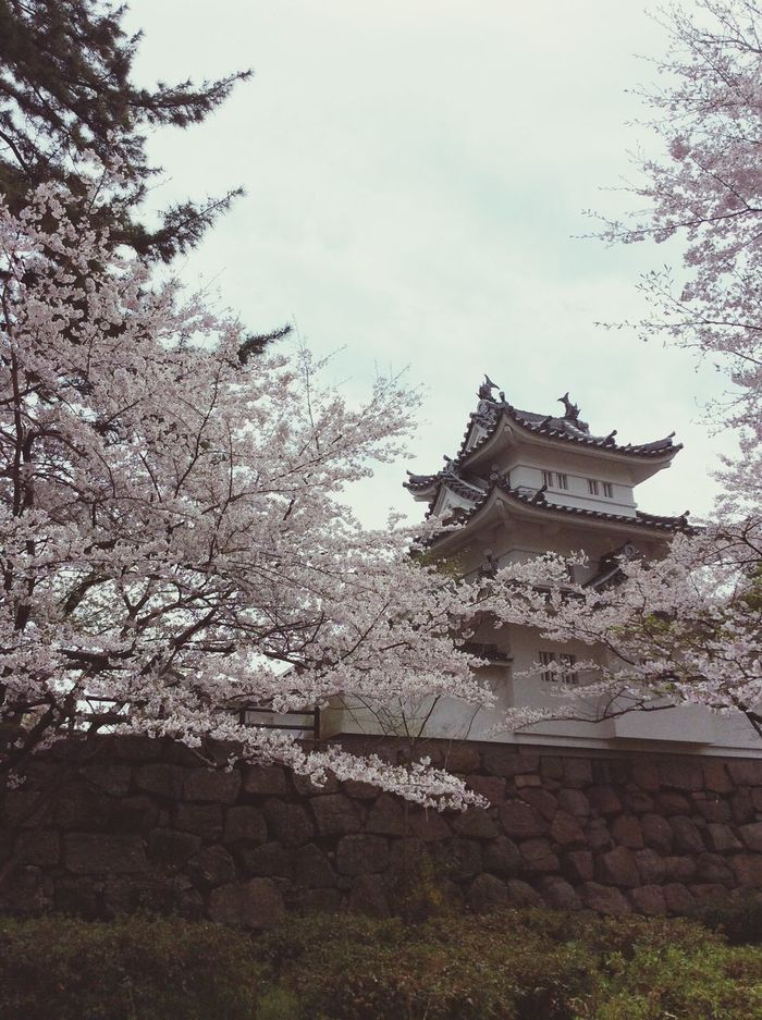 Beauty In Nature Blossom Springtime Cherry Blossom