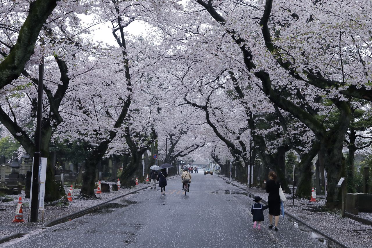 Cherry Blossom Cherry Blossoms Flower Flower Collection Flowerporn Flowers Japan Japan Photography Nature Nature Photography Nature_collection Road Sakura Sakura Blossom Spring Spring Flowers Springtime Street Streetphotography The Way Forward Tokyo Tokyo Street Photography Tree Trees Vanishing Point The Great Outdoors - 2017 EyeEm Awards