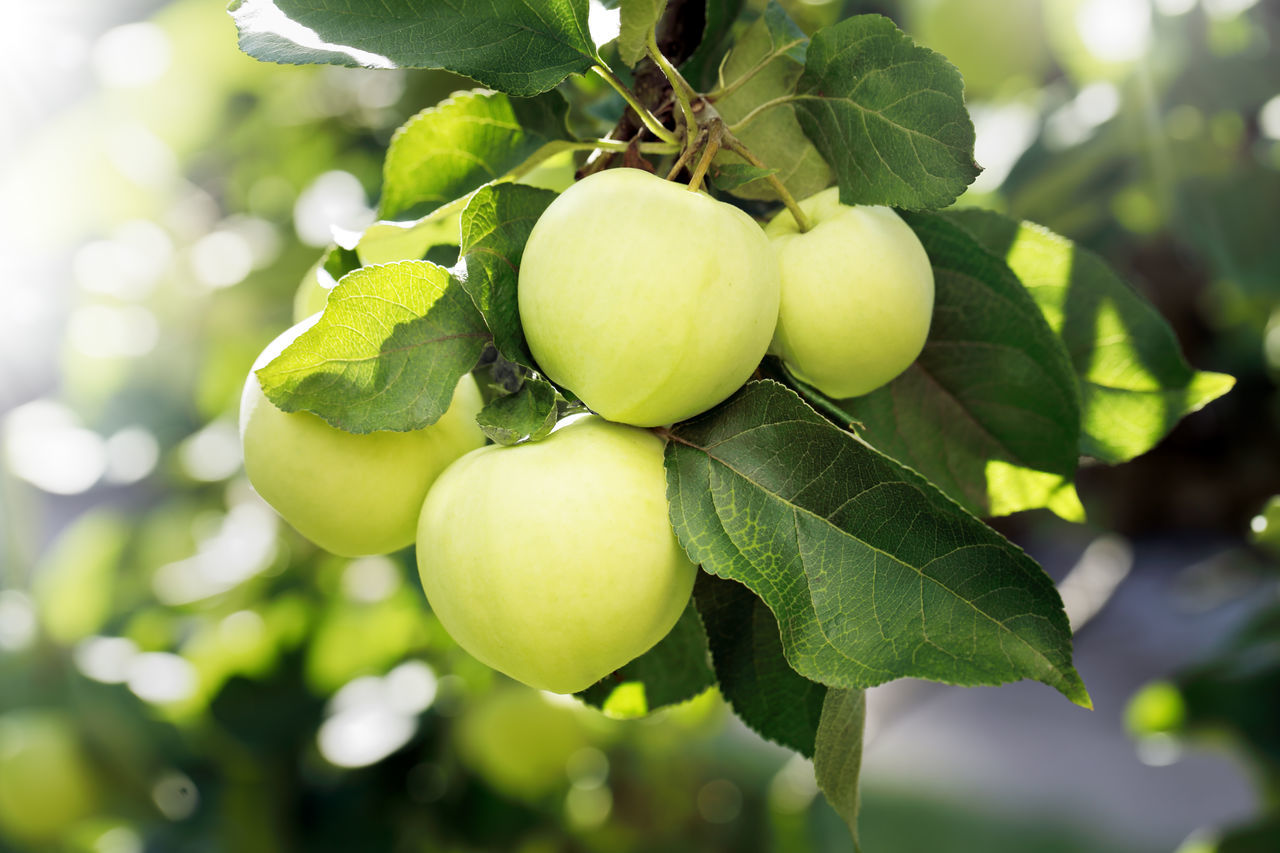 Apple Apple - Fruit Apple Tree Apple Trees  Branch Close-up Day Food And Drink Freshness Fruit Fruits Green Color Growth Nature No People Outdoors Tree