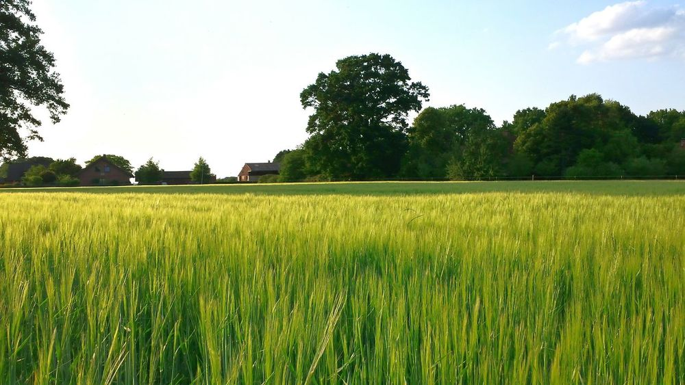 Nature On Your Doorstep Farming Northern Germany Wedemark Wheat Field EyeEm Nature Lover I Love My Village Colours Of Summer Nature_collection Greenery