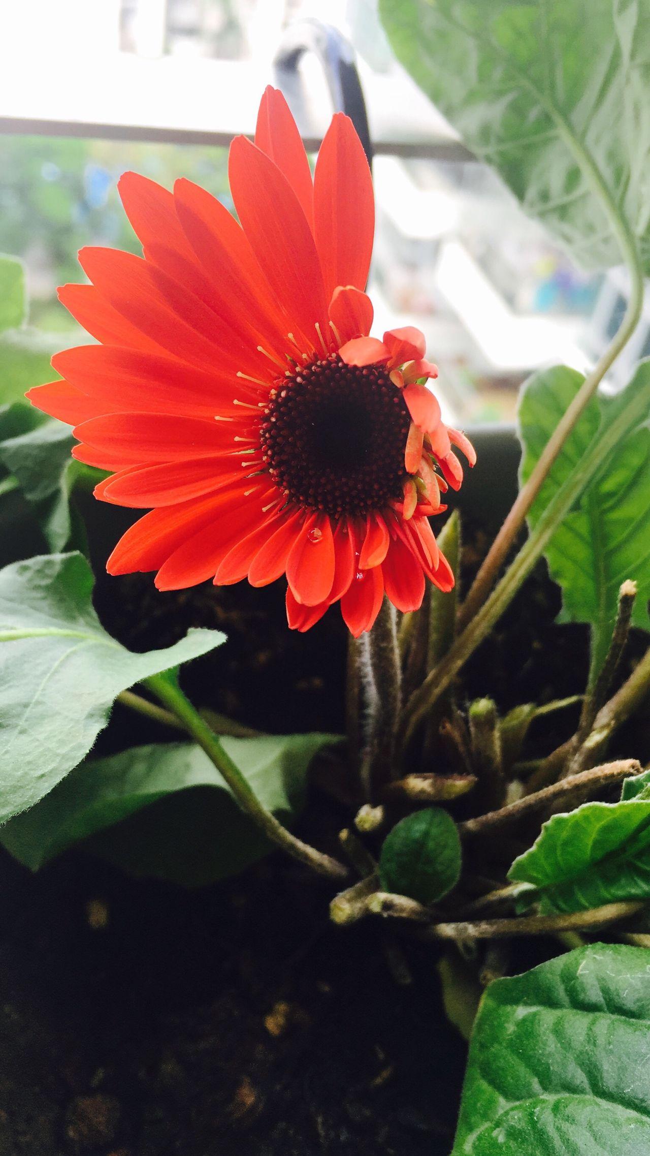 Uniqueness Daisy Baby Daisy New Life Daisy Flower Balcony Flower