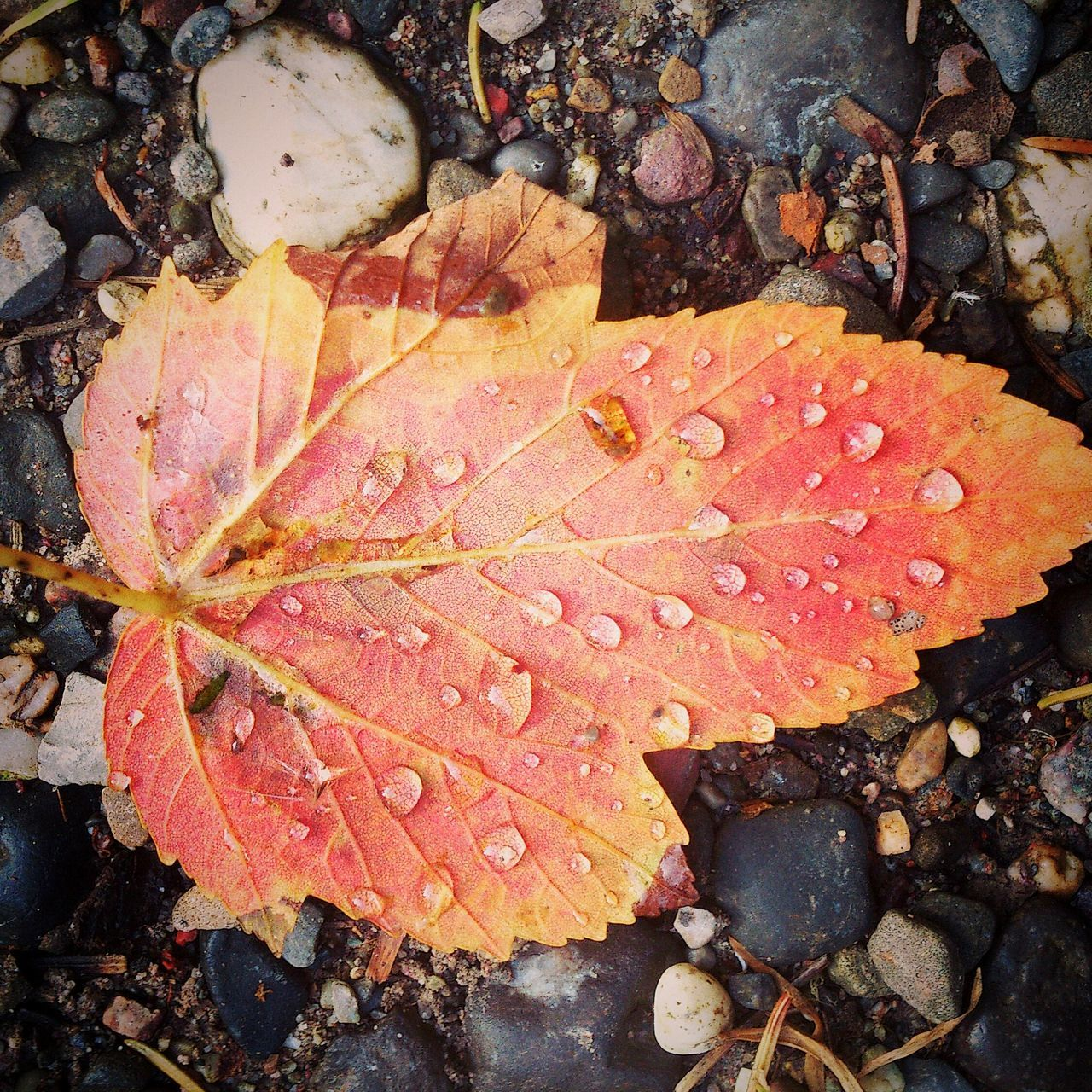 leaf, autumn, change, nature, dry, outdoors, day, leaves, wet, maple, weather, beauty in nature, no people, close-up, water, maple leaf, fragility, drop, high angle view, red, cold temperature