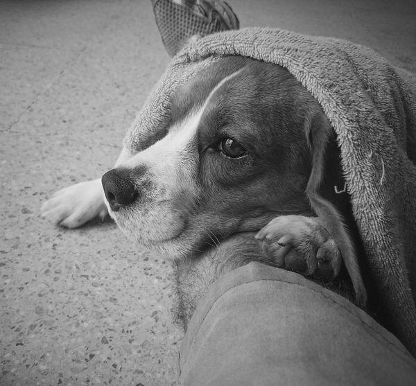 Black And White Monochrome Beagle Dog Contrast EyeEm Close-up Light And Shadow Beaglelovers Beagles Of Eyyem Black&white Blackandwhitephotography Contrasts