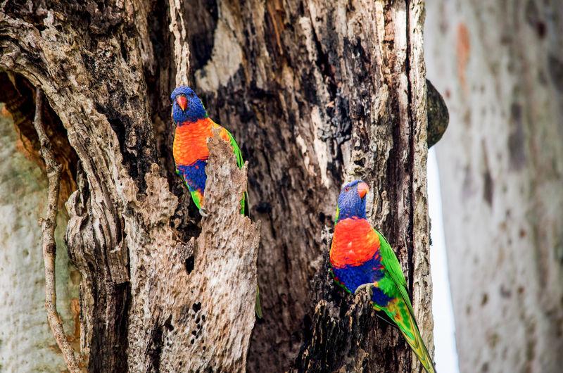 Australia Nature Nature Photography Wildlife & Nature Wildlife Photography Animal Wildlife Bird Birds Lorakeet Parrot Rainbow Lorikeet Wildlife