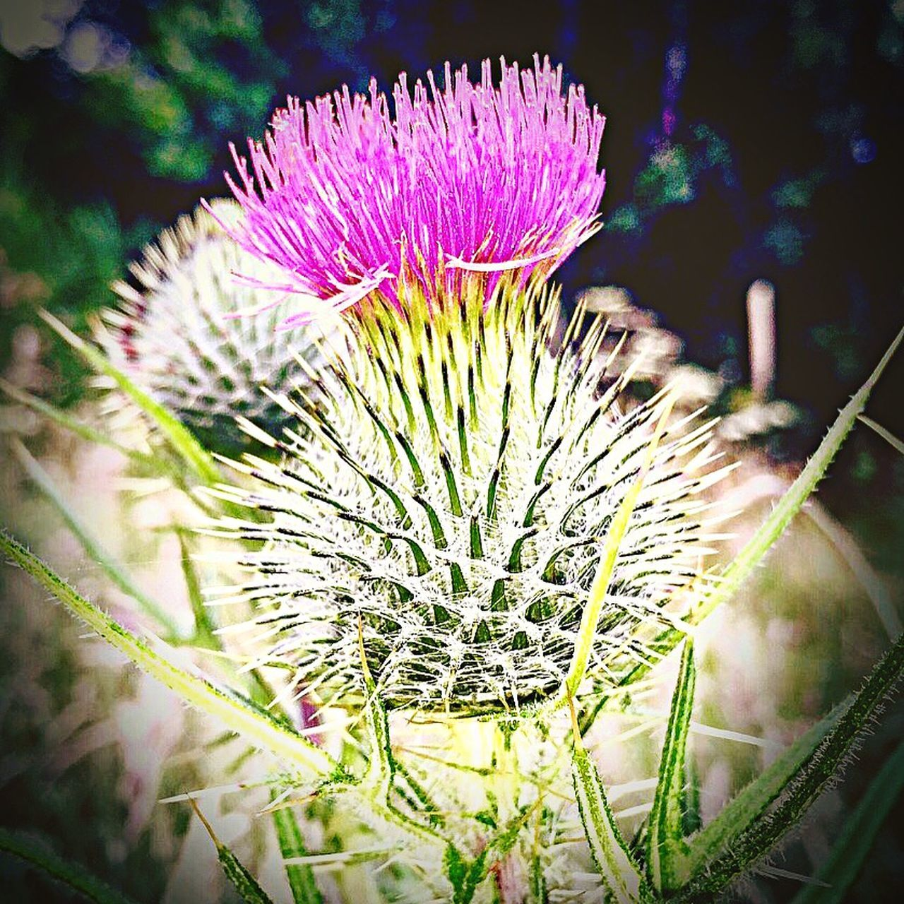 Thistle Flower Of Scotland Symbol Of Endurance Celtic Beauty Look But Don't Touch Colours Thorns Nature Scottish Bloom Natures Warrior