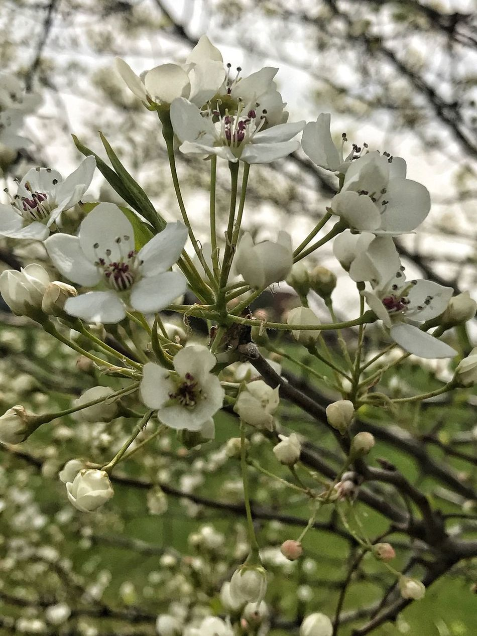 Springtime Flower Growth Nature Beauty In Nature Blossom White Color Apple Blossom Fragility Branch Petal Tree No People Freshness Day Outdoors Flower Head Blooming Close-up Spring Focus On Foreground Freshness Beauty In Nature Nature Plant
