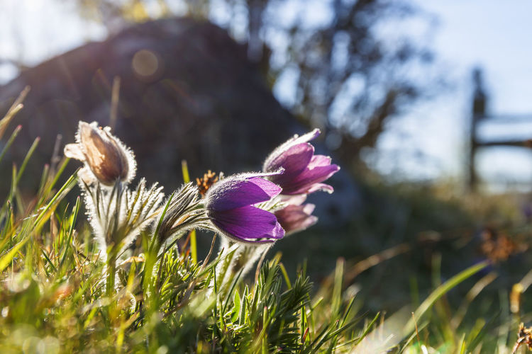 Pasque flowers in backlight on a meadow Flowering Meadow Flowers Backlit Beauty In Nature Blooming Blossom Close-up Flower Flower Head Focus On Foreground Fragility Freshness Growth Hairy  Meadow Nature No People Outdoors Pasque Flower Petal Plant Spring Spring Flowers Springtime Wild