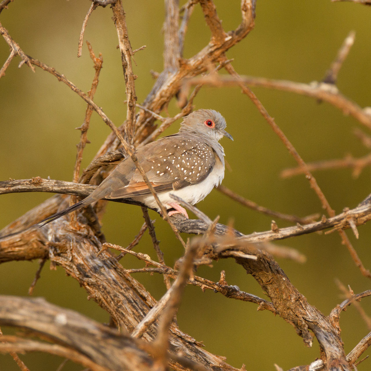 Animal Themes Animal Wildlife Animals In The Wild Beauty In Nature Bird Bird Photography Diamond Dove Geopelia Cuneata Nature Nature Photography No People One Animal Perching Wildlife & Nature Wildlife Photography