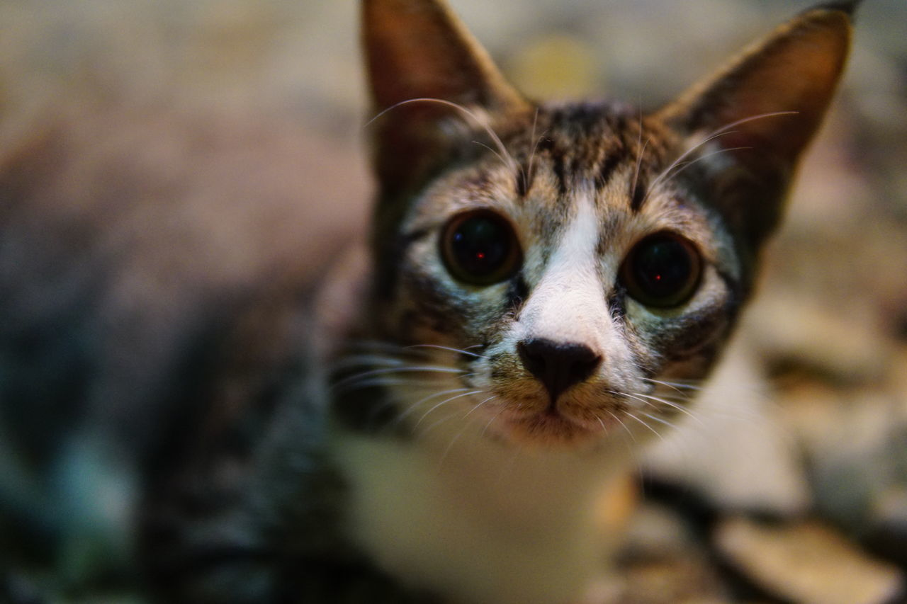 Animal Eye Animal Themes Cat Close-up Domestic Animals Domestic Cat Feline Looking At Camera Mammal No People One Animal Outdoors Pets Portrait Whisker