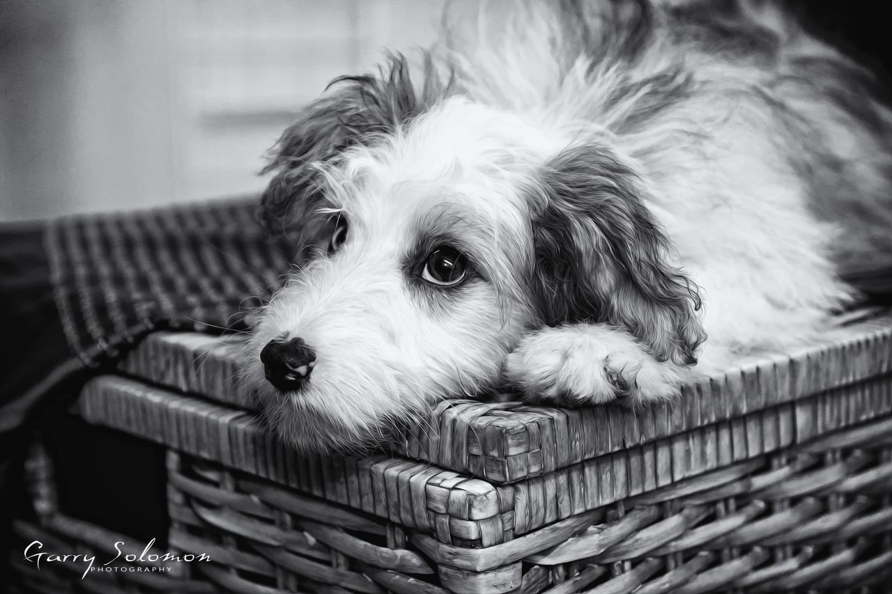 pets, dog, basket, one animal, domestic animals, animal themes, mammal, no people, close-up, indoors, day
