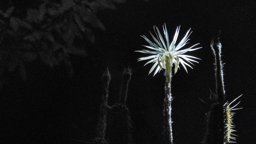 Beauty In Nature Blooming By Night Blossom Cactus Cactus Flower Flower Of Prayer Light And Shadow Night Plants 🌱 Macro Beauty
