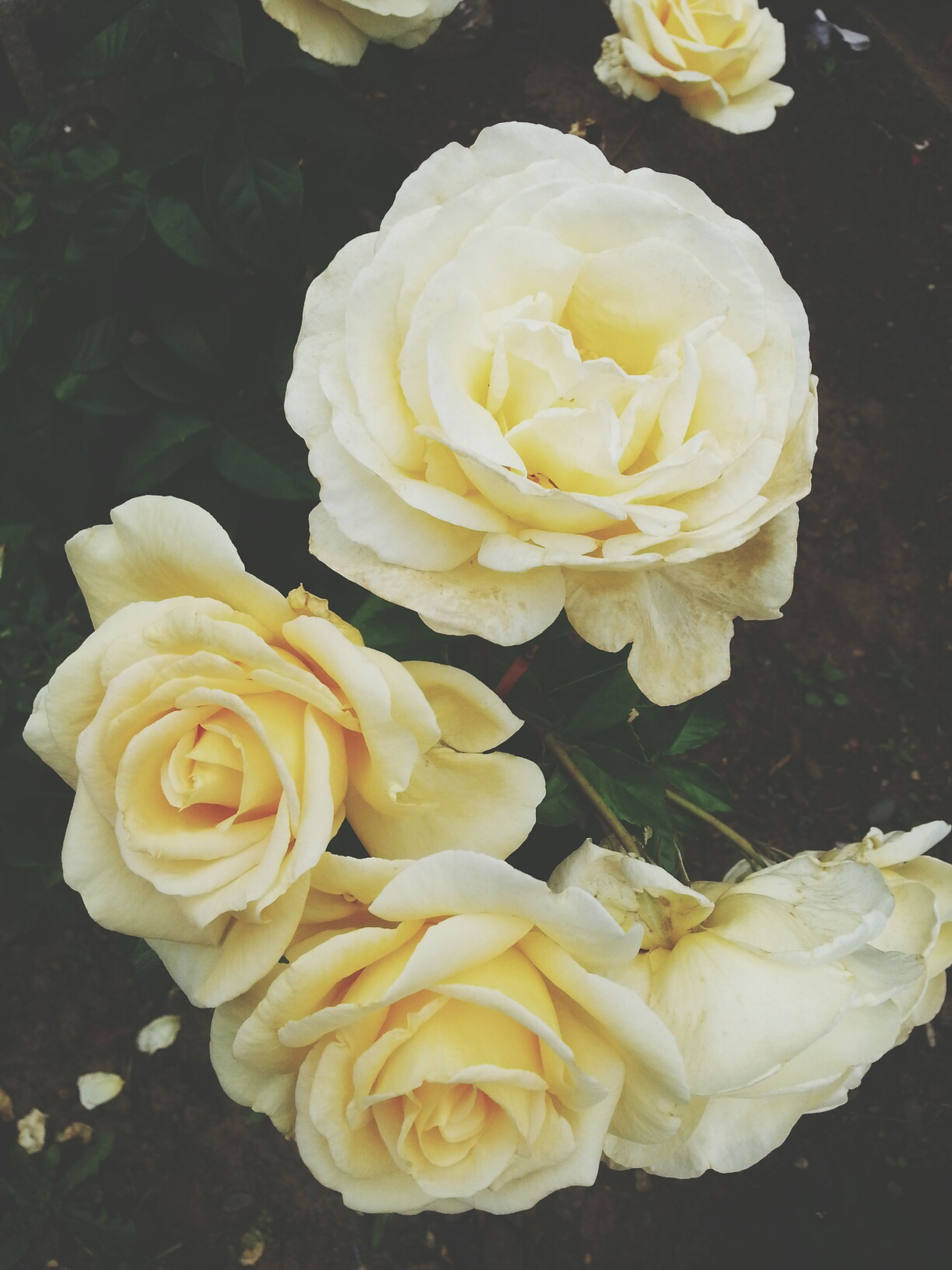 flower, petal, rose - flower, flower head, freshness, fragility, beauty in nature, close-up, high angle view, rose, blooming, nature, single flower, yellow, growth, plant, no people, in bloom, outdoors, day