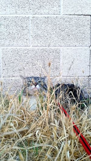 Cat walking on a leash, exploring the wild grasses. Cat Grey, Black And White Cat Tabby Tabby Cat Outside OutdoorsGrass Dead Grass New Grass Leash Red LeashCat Walking Cat Walking On A Leash Hiding Brick Wall Summer The Essence Of Summer The Great Outdoors - 2016 EyeEm Awards