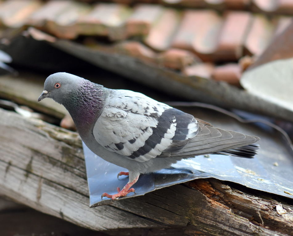 Animal Themes Animal Wildlife Animals In The Wild Bird Bird Of Prey Close-up Mourning Dove One Animal Pigeon Pigeon On The Old Roof