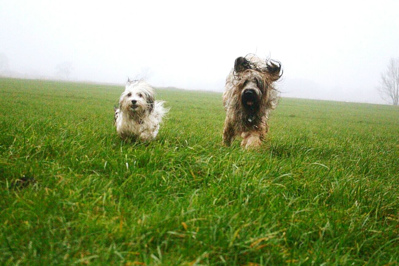 BRUNO & ELMO Grass No People Green Color Nature Pets Outdoors Day Sky Cold Temperature Beauty In Nature Running Running Dog Dogs Running Dogs Havaneser Briar