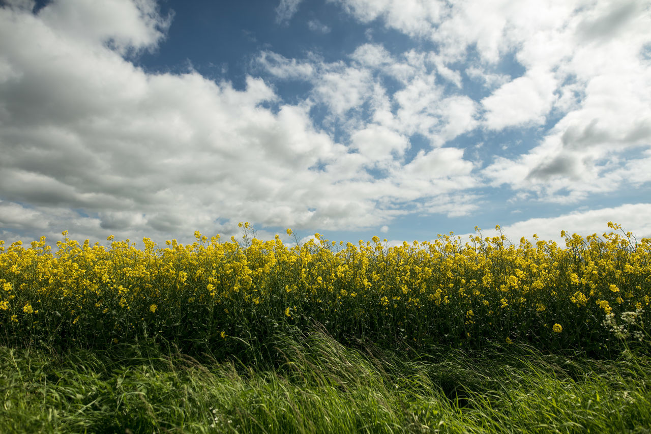 Agriculture Beauty In Nature Canola Canon Cloud - Sky Crop  Cultivated Land Day Farm Farm Field Flower Flowers Growth Light And Shadow Nature No People Outdoors Rural Scene Sigma Sky Spring The Week Of Eyeem Tranquility Yellow