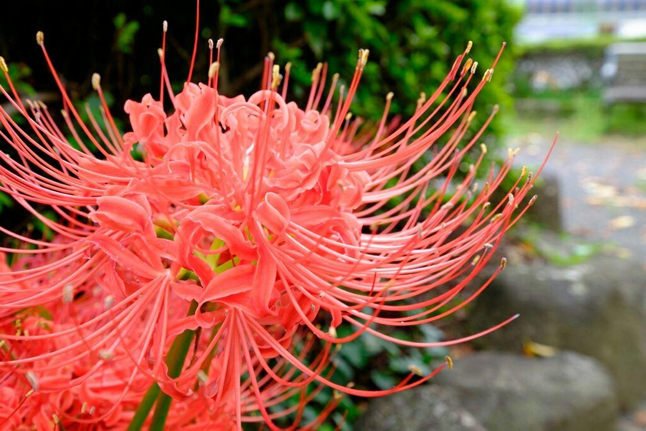 彼岸花 Flower Collection 彼岸花 Redspiderlily 曼珠沙華 Fujifilm_xseries Fujifilm 花 Flower Flowerporn