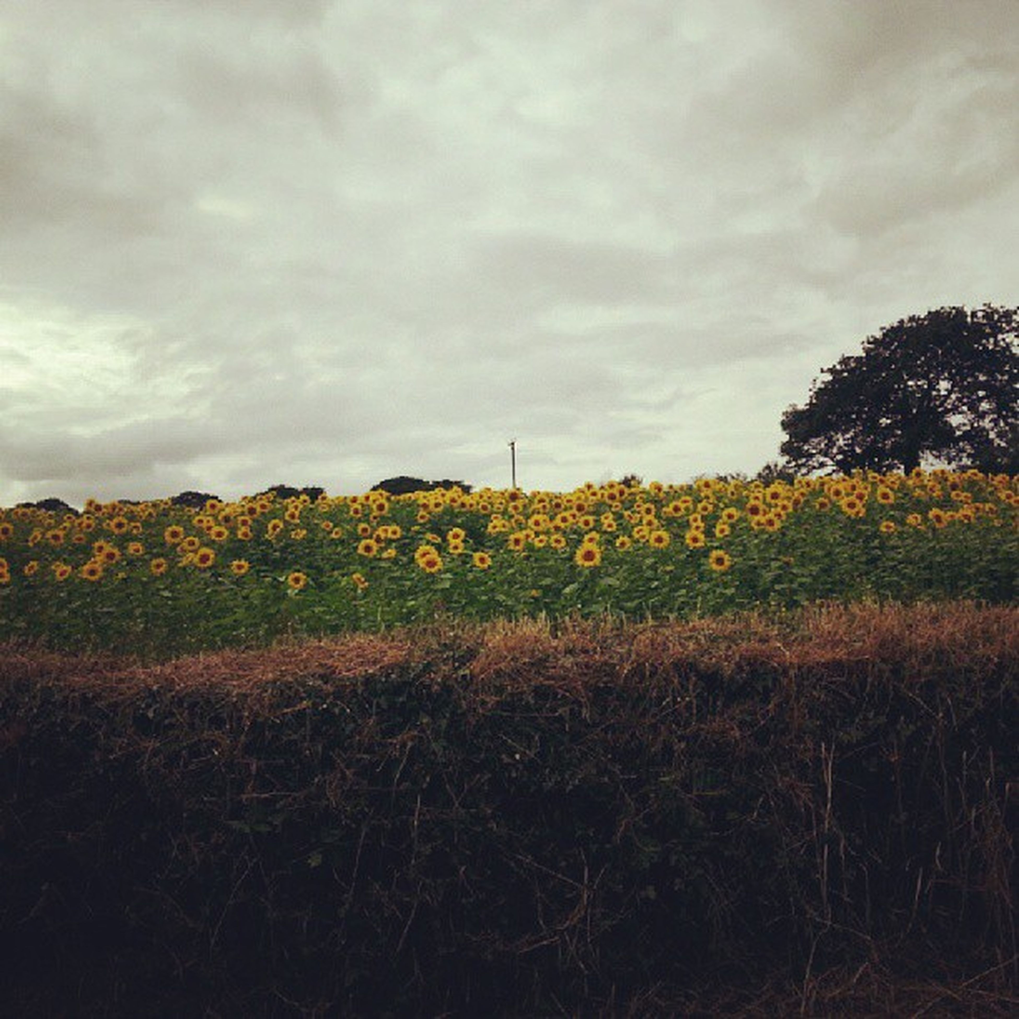 field, sky, growth, rural scene, agriculture, cloud - sky, beauty in nature, landscape, tranquil scene, tranquility, nature, flower, scenics, farm, tree, plant, cloudy, yellow, crop, cloud