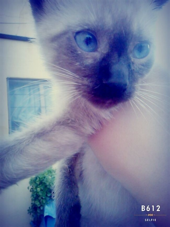 Gatito Siames Hermoso❤ 3meses Pillud Ojazos Azules House