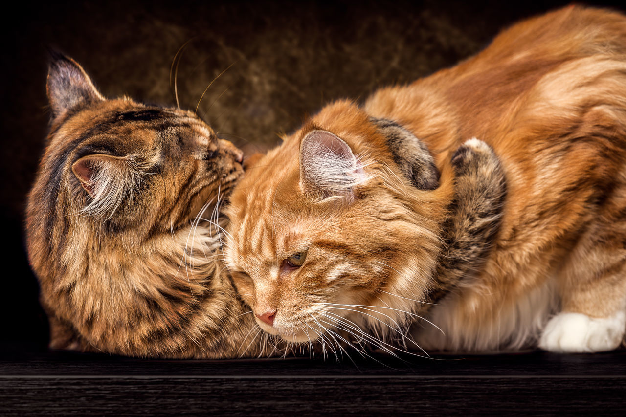 Mother and Daughter female Maine Coon Cats Animal Themes Animals In The Wild Close-up Day Domestic Animals Domestic Cat Feline Indoors  Mammal Nature No People One Animal Pets Relaxation Whisker