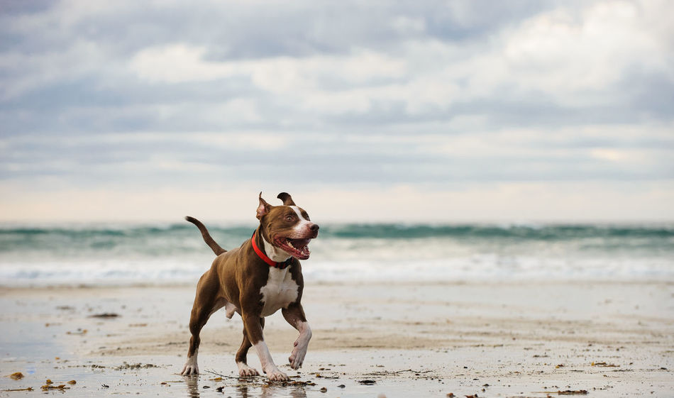 Beautiful stock photos of pitbull, American Pit Bull Terrier, Animal Themes, Beach, Beauty In Nature