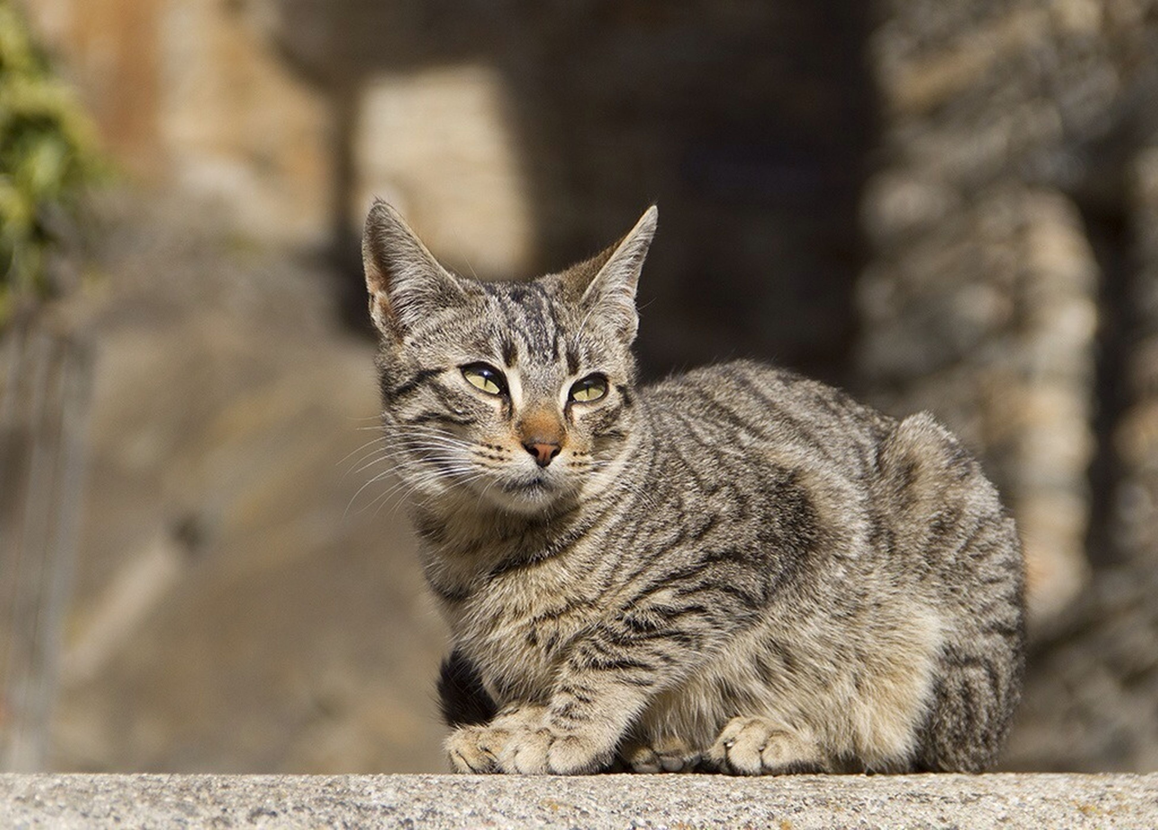 domestic cat, cat, feline, animal themes, one animal, mammal, whisker, pets, domestic animals, portrait, looking at camera, focus on foreground, close-up, sitting, relaxation, alertness, tabby, outdoors, staring