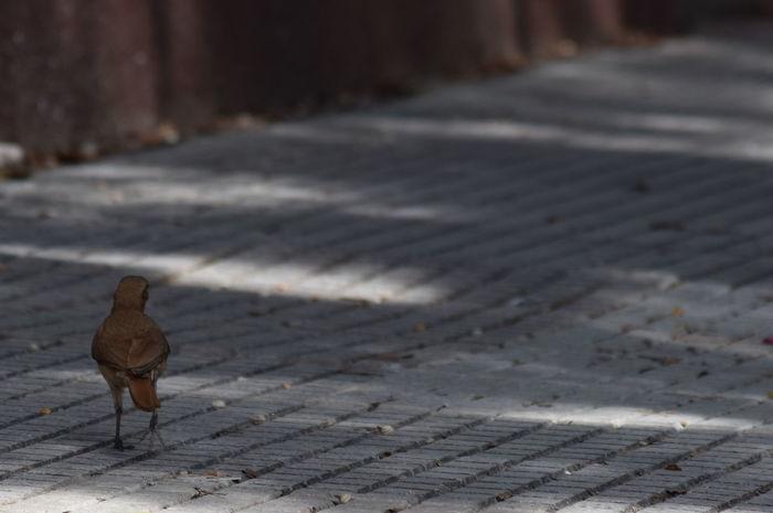 Argentina AsYouWish Bird Birds Birds In The City Birds Of EyeEm  Buenos Aires Nikon Nikonphotography Noedit Nofilter Walking Around The City  Walking Bird Pet Portraits