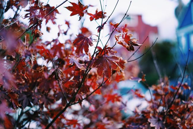 It's getting fall here, too. // Leaf Branch Focus On Foreground Tree Close-up Selective Focus Growth Season  Beauty In Nature Day Nature Springtime Fragility Red Leaves Outdoors Freshness No People Scenics Tranquility