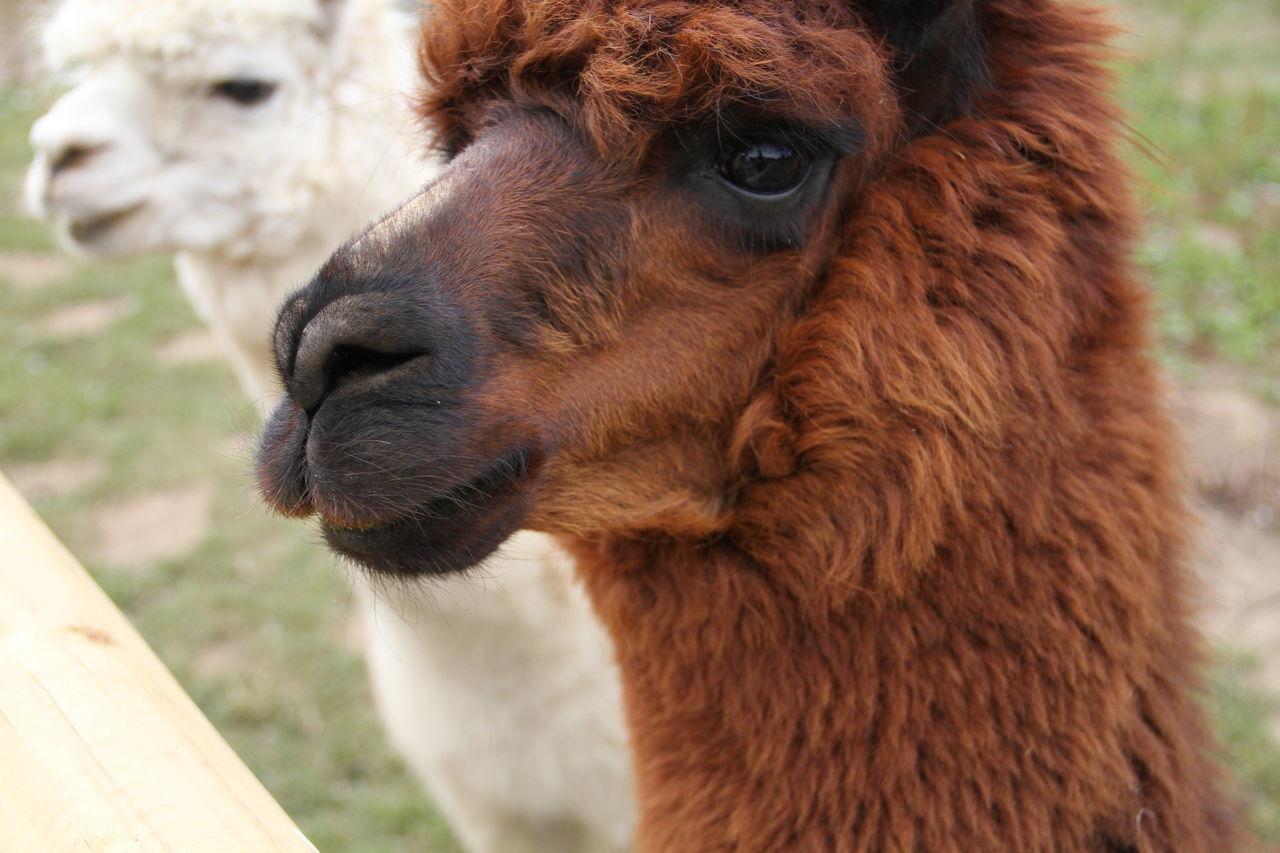 Beautiful stock photos of llama, Animal Hair, Animal Themes, Brown, Close-Up