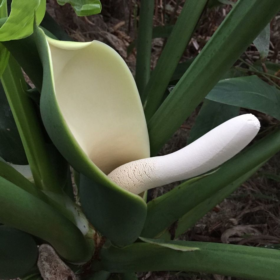 Showcase: November Philodendrons Do Bloom!!